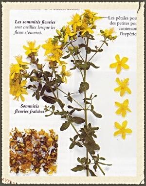Millepertuis_plante